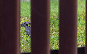 Black-tailed jackrabbit (Lepus californicus) viewed through border wall. Southmost Preserve, The Nature Conservancy Reserve. The border wall separates 85% of the reserve from the United State's si...  -  Wendy Shattil