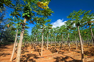 Papaya field (Carica papaya) on a farm on the island of Molokai, Hawaii, United States of America, Pacific.  -  David Fleetham