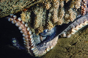 Giant pacific octopus (Enteroctopus dolfleini) nearing the end of her life. The eggs she has been tending to are almost ready to hatch. British Columbia, Canada.  -  David Fleetham