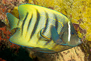 Six-banded angelfish (Holacanthus sexstriatus) carefully checked out by a cleaner wrasse, on a reef off the island of Yap, Micronesia. - David Fleetham