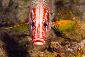 Longjaw squirrelfish (Sargocentron spiniferum), Hawaii.  -  David Fleetham