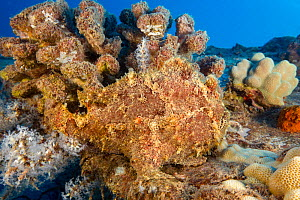Commerson's frogfish (Antennarius commersoni) camouflaged in reef, Hawaii.  -  David Fleetham