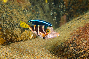 Crowned pufferfish (Canthigaster axiologa) inspected for parasites by a juvenile Bluestreak cleaner wrasse (Labroides dimidiatus) Philippines. - David Fleetham