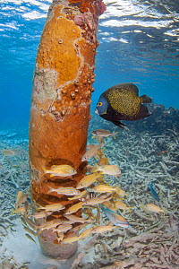 Schooling snapper and a French angelfish (Pomacanthus paru) around the pillar of a pier off Bonaire, Netherlands Antilles, Caribbean.  -  David Fleetham