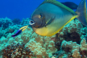 Sleek unicornfish (Naso hexacanthus) which has turned a darker than normal colour to help an endemic Hawaiian cleaner wrasse, (Labroides phthirophagus) spot parasites, Hawaii.  -  David Fleetham