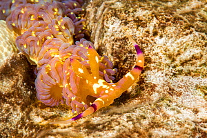 Blue dragon nudibranch (Pteraeolidia ianthina) which has evolved a method of capturing and farming microscopic plants (zooxanthellae) in its body. Hawaii, USA - David Fleetham