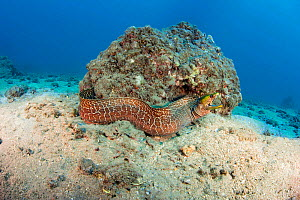Undulated moray eel (Gymnothorax meleagris) It is unusual to find a moray eel out free swimming during the day. The more often hunt by night, Hawaii. - David Fleetham