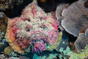 Stonefish (Synanceia verrucosa) camouflaged, This species is capable of inflicting a painful, heart stopping wound with it's venomous dorsal spines. Yap, Micronesia.  -  David Fleetham