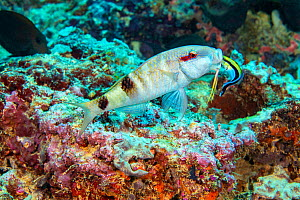 Manybar goatfish (Parupeneus multifasciatus) is mouth wide to be inspected by a bluestreak cleaner wrasse, Labroides dimidiatus, on a reef off the island of Yap, Micronesia.  -  David Fleetham