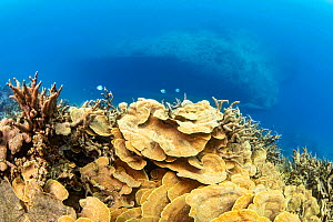 Delicate hard corals grow in tiers on the slope above the Circus Wreck,Yap, Micronesia.  -  David Fleetham