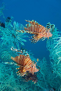 Lionfish (Pterois volitans) in white polyp black coral, Tulamben, Bali, Indonesia.  -  David Fleetham