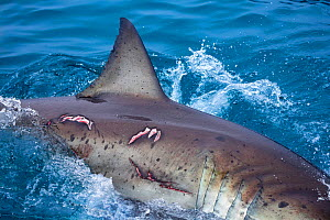 Great white shark (Carcharodon carcharias) with bite wounds on it's side. It is possible this is a female, Guadalupe Island, Mexico.  -  David Fleetham