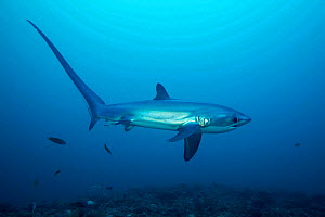 Pelagic thresher shark (Alopias pelagicus) to visit cleaning stations on the reef. Monad Shoal off Malapascua Island, Philippines  -  David Fleetham