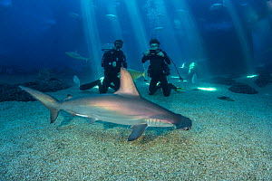 Two divers get a close look at Scalloped hammerhead shark, (Sphyrna lewini) along with many other species in their big tank. Captive at Maui Ocean Center, Hawaii Model released.  -  David Fleetham