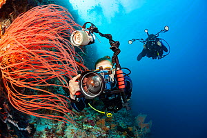 Two divers shooting digital SLRs line up on whip coral on an Indonesian reef. Model released. - David Fleetham