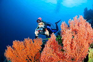 Photographer scans a fan of gorgonian coral in search of a subject, Indonesia.  -  David Fleetham