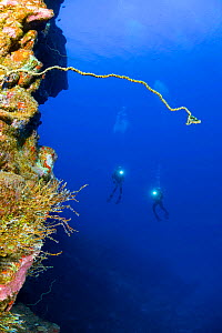 Wire coral and divers on a wall dive off Kaumalapau Harbor, Lanai, Hawaii. Model released. - David Fleetham