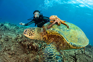 Diver looks on as Day octopus (Octopus cyanea) rides on a green sea turtle (Chelonia mydas) Hawaii. Model released,  -  David Fleetham