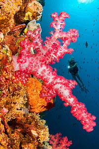 Alcyonarian coral dominates this reef scene with a diver, Komodo, Indonesia. Model released.  -  David Fleetham