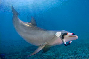 Atlantic bottlenose dolphin (Tursiops truncatus) in aquarium, training to recover the triangle with eye cups using only echolocation, Curacao Sea Aquarium, Willemstad, Curacao, Netherlands Antilles, C...  -  David Fleetham