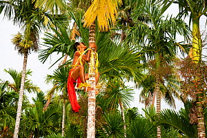 Young man in a traditional outfit for cultural ceremonies climbing a betel nut palm tree to harvest the nut on the island of Yap, Micronesia. September 2013. Model released.  -  David Fleetham