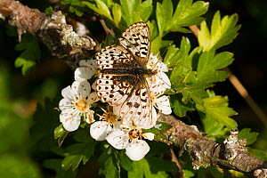 Pearl-bordered fritillary butterfly (Boloria euphrosyne) feeding on flowers. Threatened species, pale form, Wales, UK.May.  -  David Woodfall