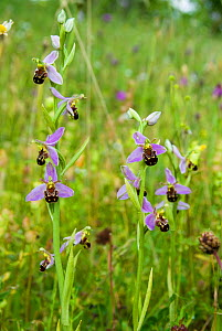 Bee orchid (Ophrys apifera) a widespread orchid of grasslands and verges, growing on St George's Flower Bank, Bristol, UK, June.  -  Steve Nicholls