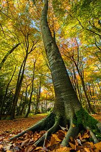 Buckholt Wood is a beech (Fagus sylvatica) wood and part of the Cotwolds Commons and Beechwoods National Nature Reserve, on the scarp slope of the Cotswolds near Birdlip, Gloucestershire  -  Steve Nicholls