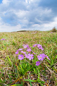 Birds eye primrose (Primula farinosa) a plant confined in Britain to the Pennines of Durham and Yorkshire and Durham's coastal limestone. Widdybank Fell, Upper Teesdale, Durham, England, UK, June. - Steve Nicholls