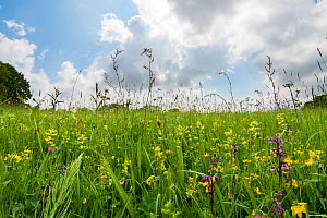 Clarke's pool meadow, an unimproved lowland hay meadow managed by the Gloucestershire Wildlife Trust, dotted with Green-winged orchids (Anacamptis morio) in early spring. Gloucestershire, England,...  -  Steve Nicholls