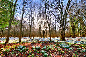Common snowdrops (Galanthus nivalis) growing at Welford Park, Berkshire, England, UK, February. - Steve Nicholls