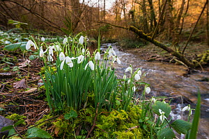 Common snowdrops (Galanthis nivalis) growing in 'Snowdrop Valley' near Wheddon Cross on Exmoor, Somerset, England, UK, February. - Steve Nicholls