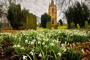 Commonly planted in churchyards, Common snowdrops (Galanthus nivalis) growing here in St Cuthbert's Church, Ormesby, Middlesbrough, England, UK, March. - Steve Nicholls