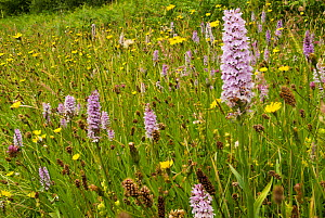 Common spotted orchid (Dactylorhiza fuchsii) on a roadside verge near Bristol, England, UK, June.  -  Steve Nicholls