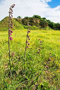 Dark red helleborine (Epipactis atrorubens ), a rare orchid. 90% of the British population grow at this old quarry at Bishop Middleham, County Durham, England, UK. July.  -  Steve Nicholls