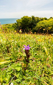 Early or English gentian (Gentianella anglica) a scarce plant, endemic to England, growing here at Durlston Head, Dorset, England, UK, May.  -  Steve Nicholls