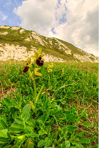 Early spider orchid (Ophrys spegodes) growing on Samphire Hoe near Dover, Kent, England, UK, May.  -  Steve Nicholls