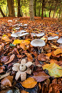 Earthstar (Geastrum sp.) and ring of toadstools (Clitocybe sp?) in beech wood, Buckholt Wood, Gloucestershire, England, UK. October.  -  Steve Nicholls