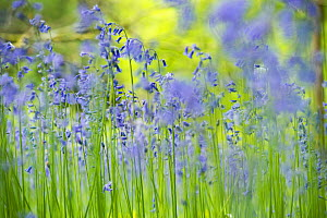 English bluebell (Hyacinthoides non-scripta) Lower Woods, Gloucestershire, England, UK, July.  -  Steve Nicholls