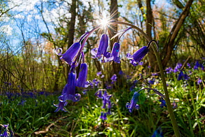 English bluebell (Hyacinthoides non-scripta) Lower Woods, Gloucestershire, England, UK, April.  -  Steve Nicholls