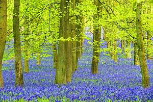 English bluebell (Hyacinthoides non-scripta) Ashridge Wood, Berkshire, England, UK, April.  -  Steve Nicholls
