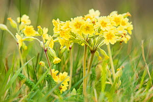 False oxlip (Primula x polyantha) a hybrid between the cowslip and the primrose, growing here in Lower Woods, Gloucestershire, England, UK, April.  -  Steve Nicholls
