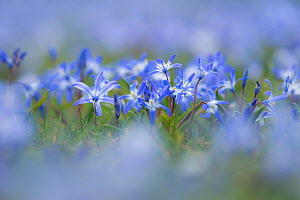 Glory of the snow (Scilla forbesii) naturalised in a lawn  -  Steve Nicholls