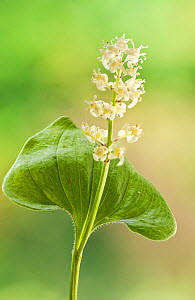 May lily (Maianthemum bifolium), cultivated specimen, May. Focus stacked image. - Steve Nicholls