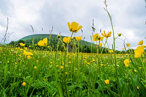 Muker Meadows National Nature Reserve with buttercups, Swaledale, Yorkshire, England, UK, June. - Steve Nicholls