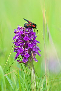 Northern marsh orchid (Dactylorhiza purpurella) with Narrow bordered five spot burnet (Zygaena loncierae) Teesmouth National Nature Reserve, North Gare near Hartlepool, Cleveland, England UK. June.  -  Steve Nicholls