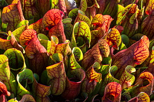 Purple pitcher plant (Sarracenia purpurea) a native of North America, growing naturalised on a bog in Wareham Forest, Dorset, England, UK, September.  -  Steve Nicholls
