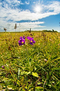 Scottish primrose (Primula scotica) native only on the northern coast of Scotland and Orkney, here growing on grasslands at Dunnet Head, Caithness, England, UK, July. - Steve Nicholls