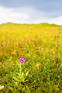 Scottish primrose (Primula scotica) native only on the northern coast of Scotland and Orkney, here growing on grasslands at Dunnet Head, Caithness, Scotland, UK, July.  -  Steve Nicholls