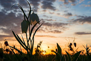 Snakeshead fritillary (Fritillaria meleagris) at sunset. North Meadow, Cricklade, home of 90% of the UK population. Wiltshire, England, UK, April.  -  Steve Nicholls